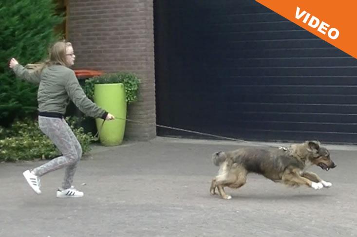 Hond trekt aan de riem Cesar